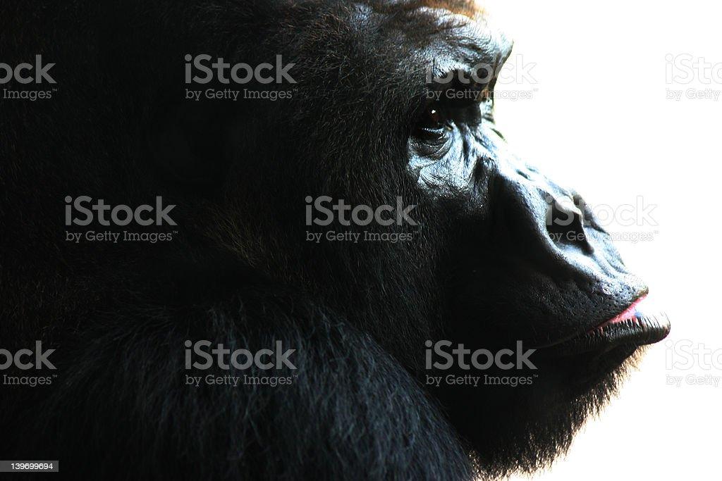The Ape royalty-free stock photo