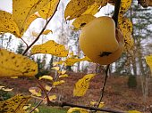 Close up on one last yellow apple hanging in the tree with a october fly