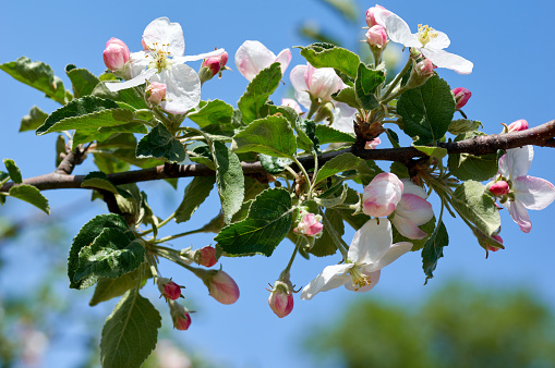 Beautiful flowers of the blossoming apple tree in the spring time