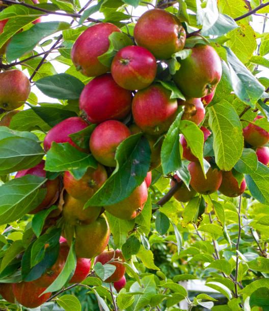 Der Apfelbaum – Foto