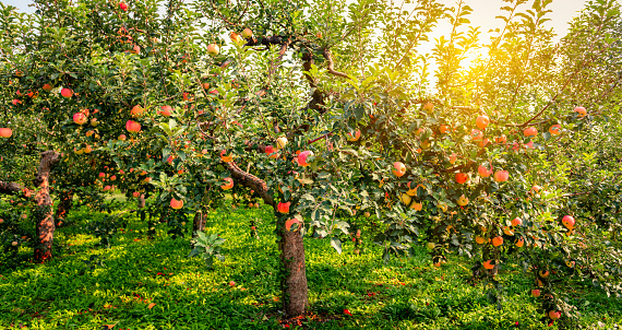 The apple trees in the harvest season are shining in the sunshine