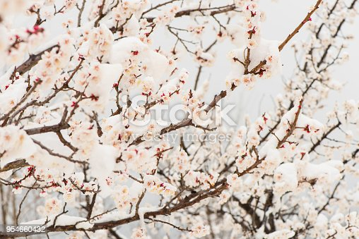 istock The Apricot blossom in snow. 954660432