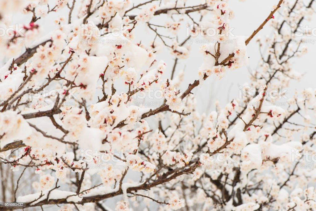 La fleur abricot dans la neige. - Photo