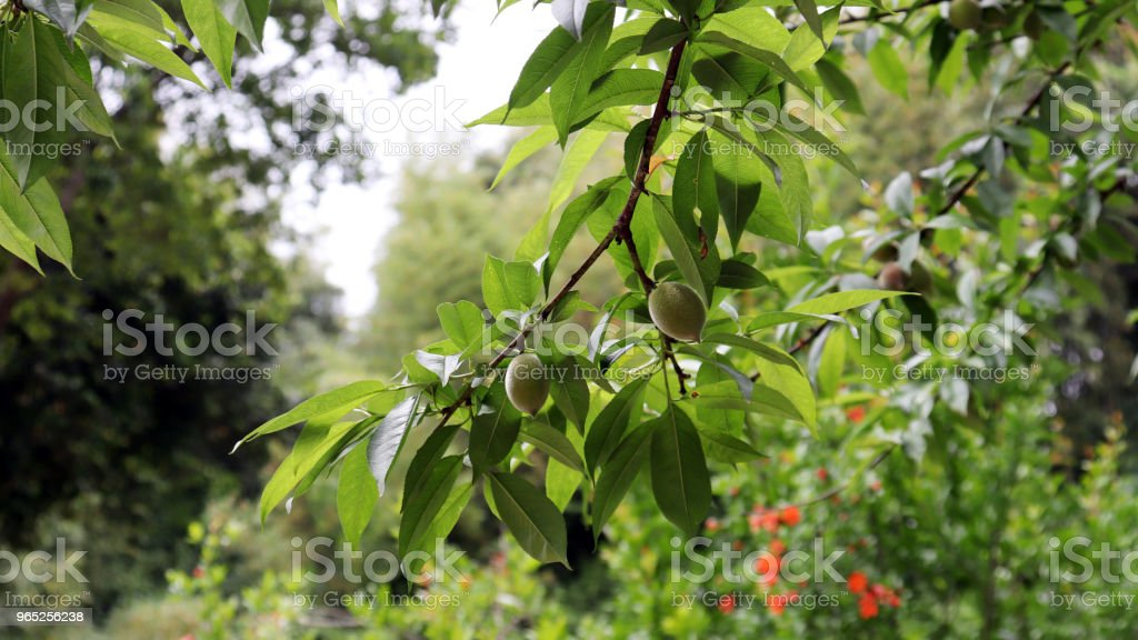 The apricot tree with apricot fruit of early summer. zbiór zdjęć royalty-free