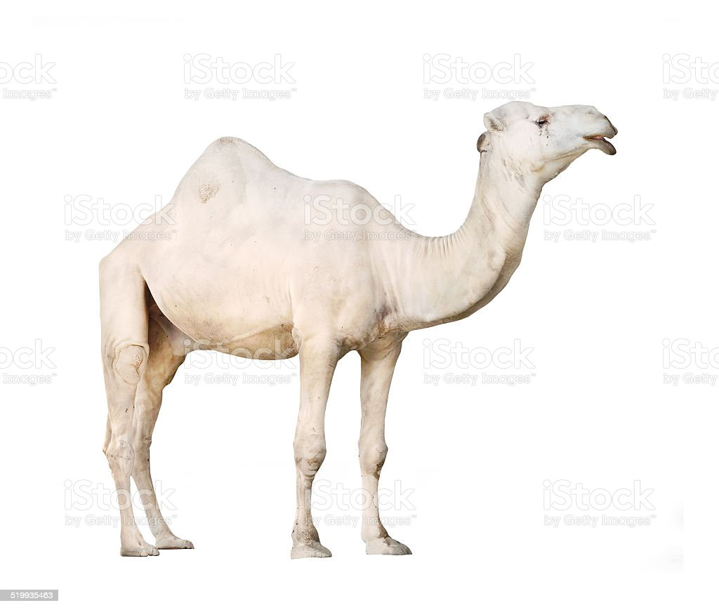 The Arabian camel. stock photo