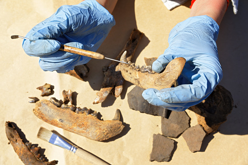 The archaeologist carefully cleans with a brush a find - part of the bear's jaw. The medieval age