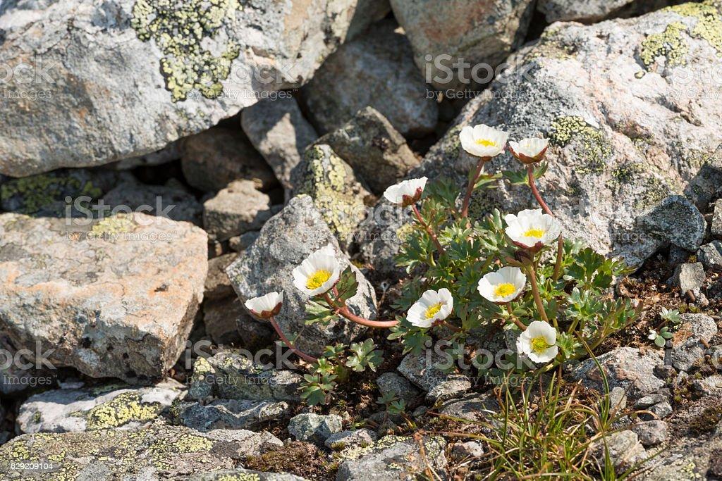 The arctic-alpine species Ranunculus glacialis (glacier crowfoot or buttercup) stock photo
