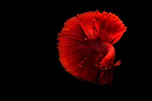 The Art of Siamese fighting betta fish movement black background stock photo