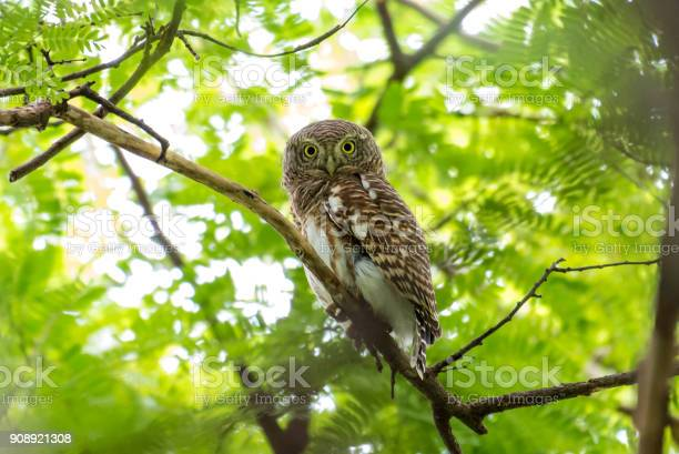 The asian barred owlet is a species of true owl resident in northern picture id908921308?b=1&k=6&m=908921308&s=612x612&h=nr6lwwmsmucyvegenvu63umbbq cvesv10p9xlgi s0=