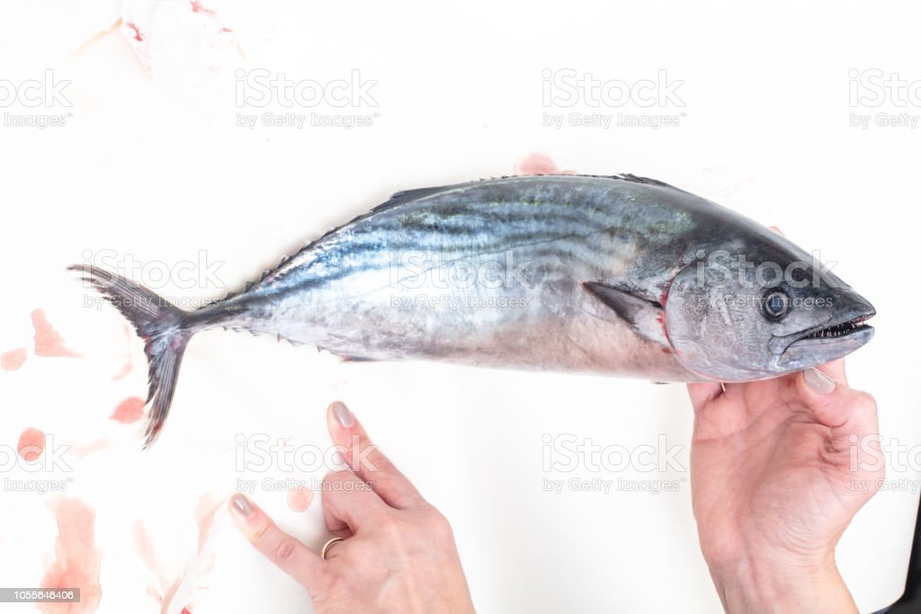 The Atlantic bonito (Sarda sarda) stock photo