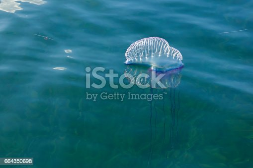 Siphonophore