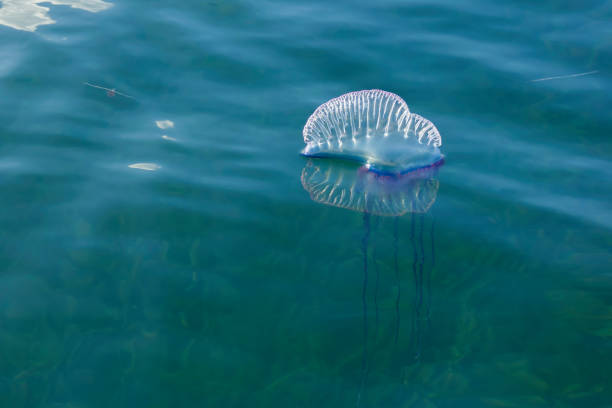 The Atlantic Portuguese Man O' War stock photo