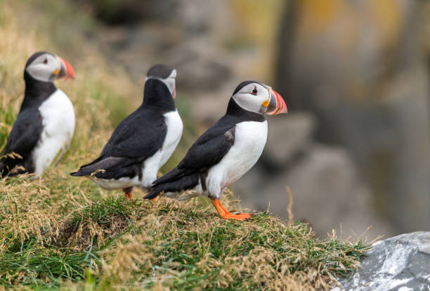 The Atlantic puffin, also known as the common puffin The Atlantic puffin, also known as the common puffin auk stock pictures, royalty-free photos & images
