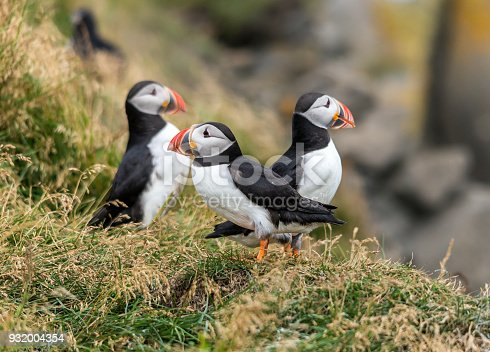istock The Atlantic puffin, also known as the common puffin 932004354