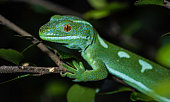Yellow headed day gecko (Phelsuma klemmeri) on bamboo.