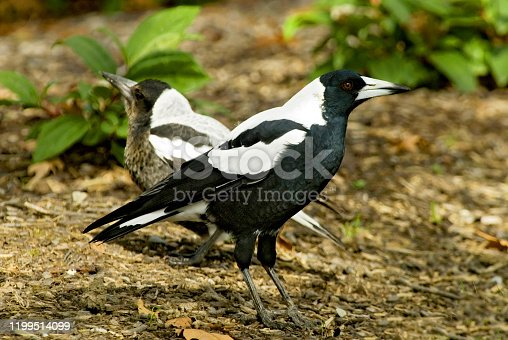 The Australian magpie (Cracticus tibicen) is a medium sized black and white passerine bird native to Australia and southern New Guinea. Christchurch, New Zealand.