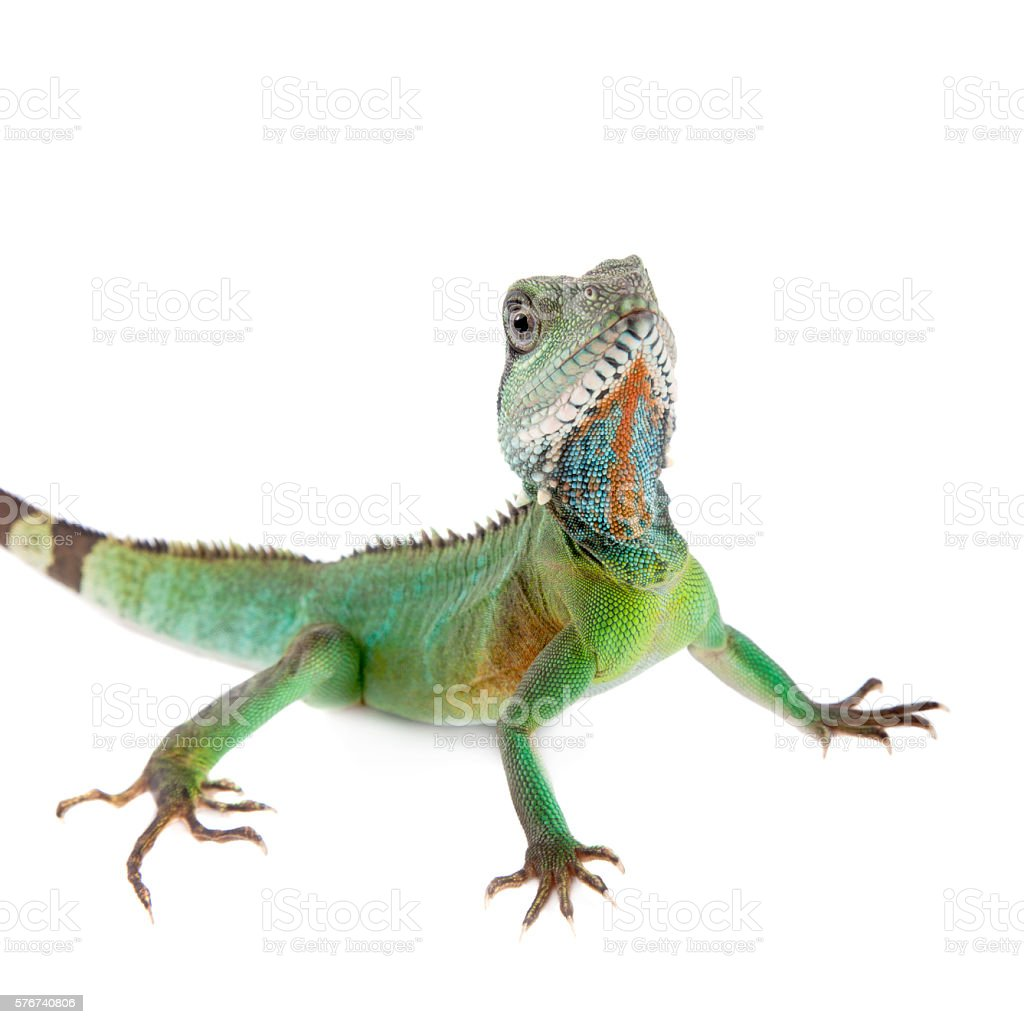 The Australian water dragon on white background stock photo