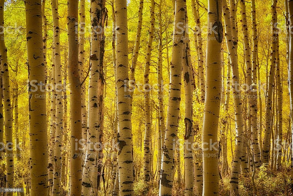 The Autumn Aspen Glow stock photo