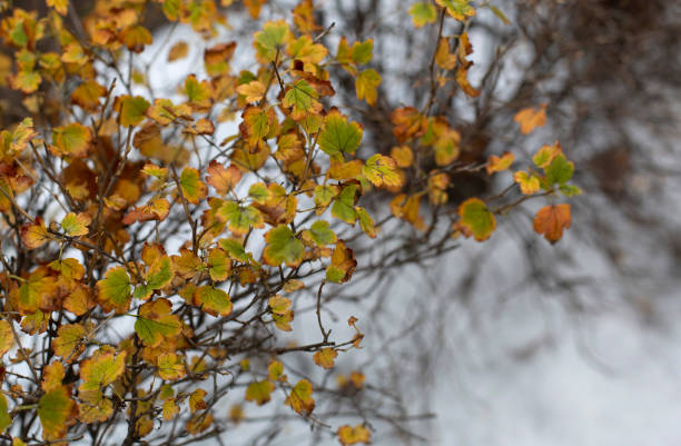 The autumn bush with yellow foliage under the first snow stock photo