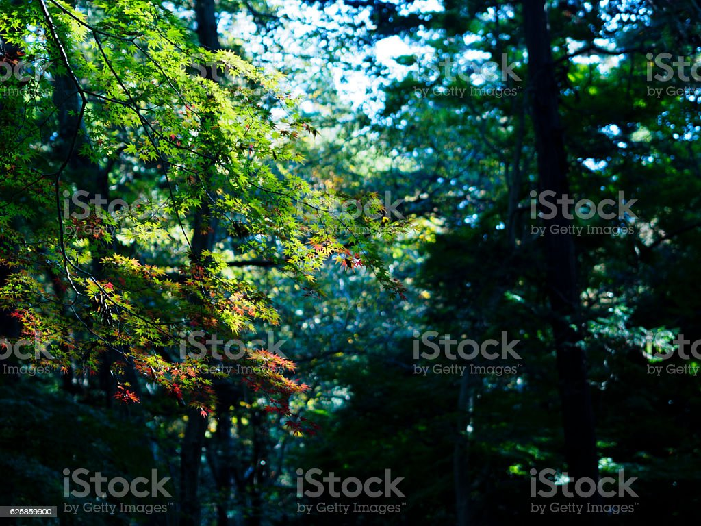 The autumn forest that the morning sun gathers ストックフォト