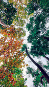 The autumn leaves in two colors, orange and green. Autumn leaves in forest, view from below.