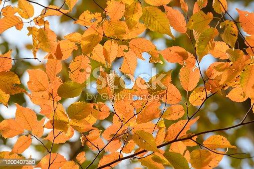 The autumn leaves of Carpinus laxiflora