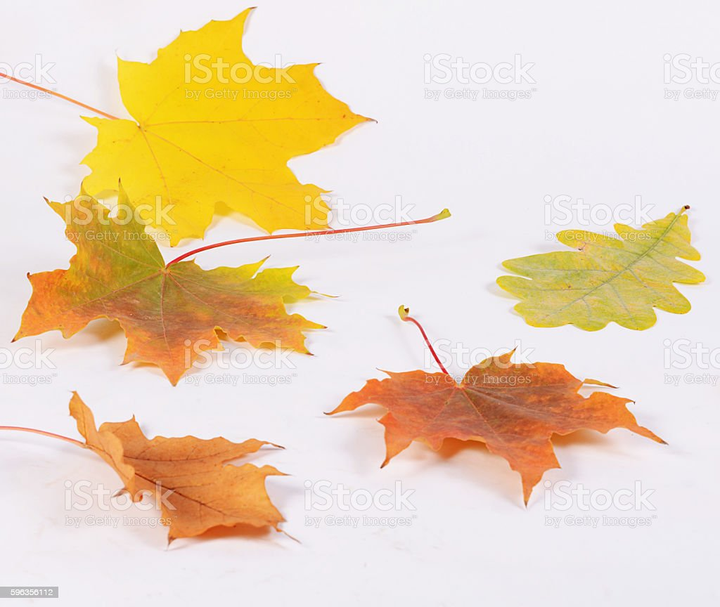 The autumn maple leaves as background royalty-free stock photo