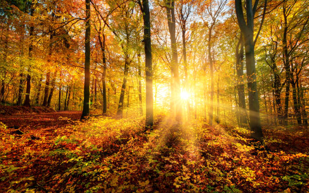 The autumn sun doing its magic in a forest stock photo