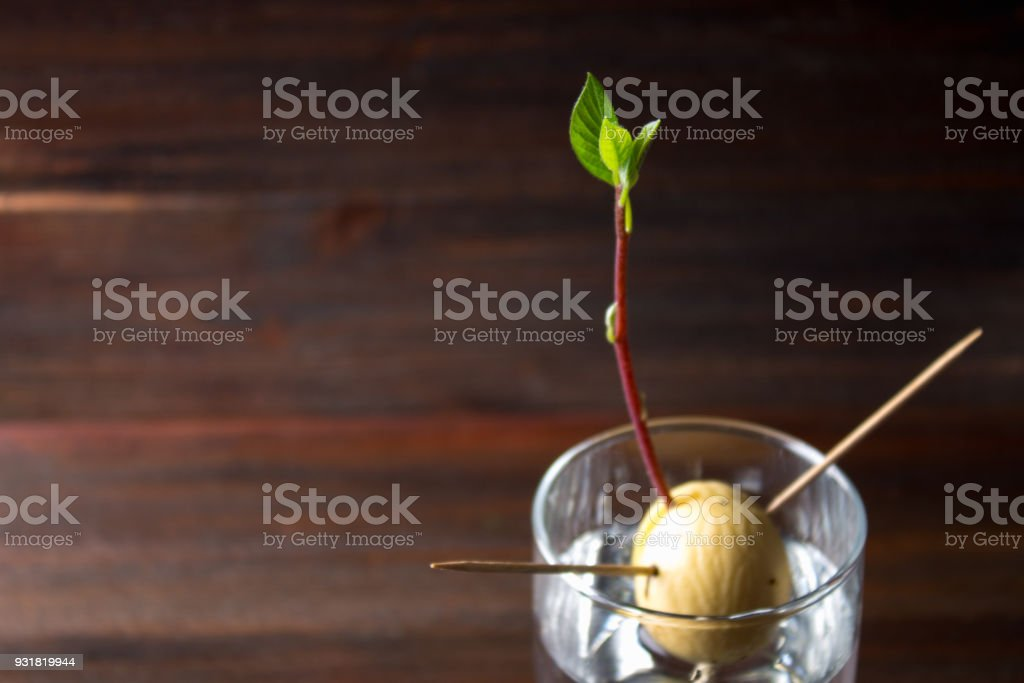 The avocado sprout grows from the seed in a glass of water. A living plant with leaves, the beginning of life on a wooden table. stock photo