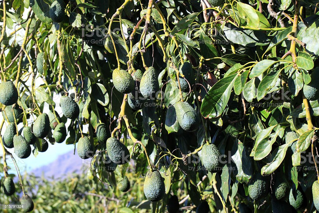 The avocado tree with fruits stock photo