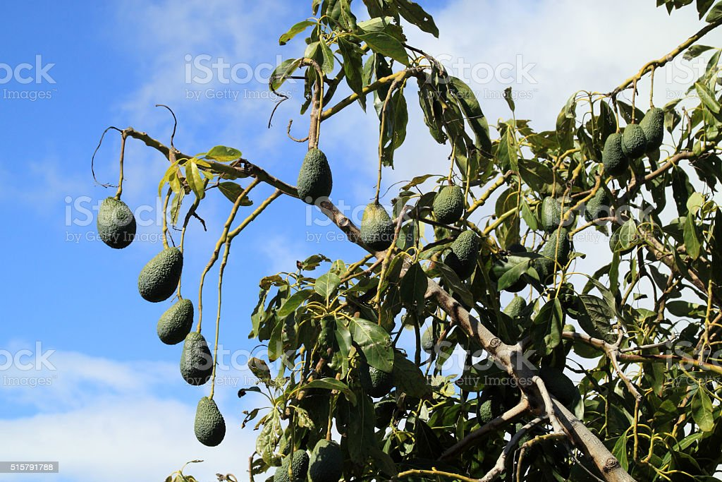 The avocado tree with green avocado stock photo