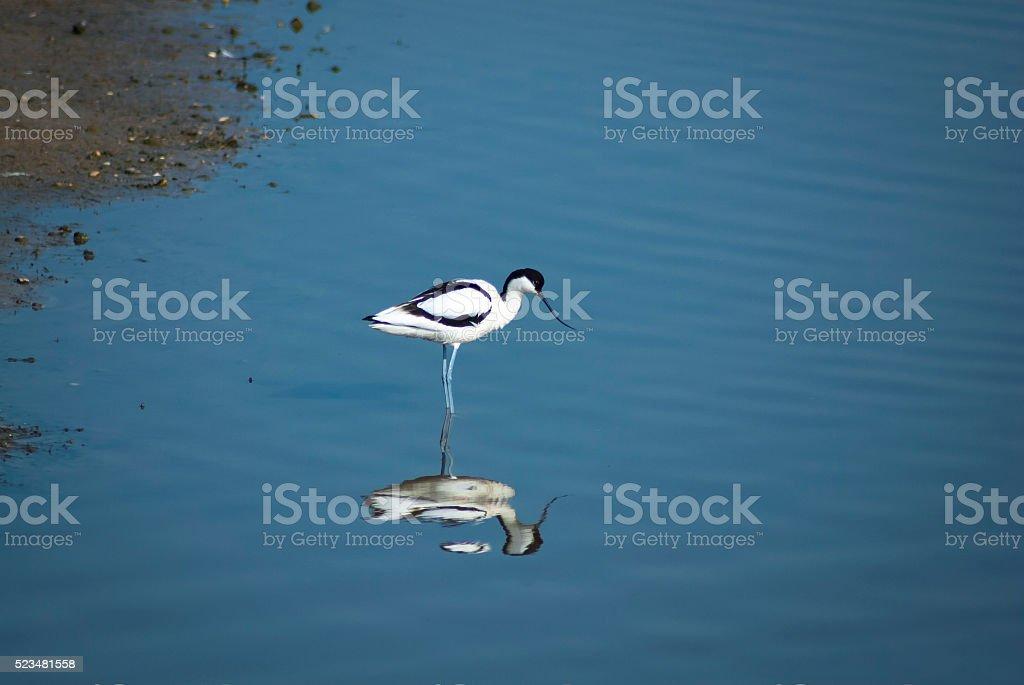 The Avocet, Recurvirostra avosetta. stock photo