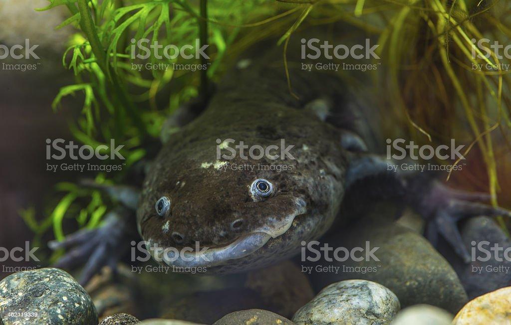 El axolote salamandra - foto de stock