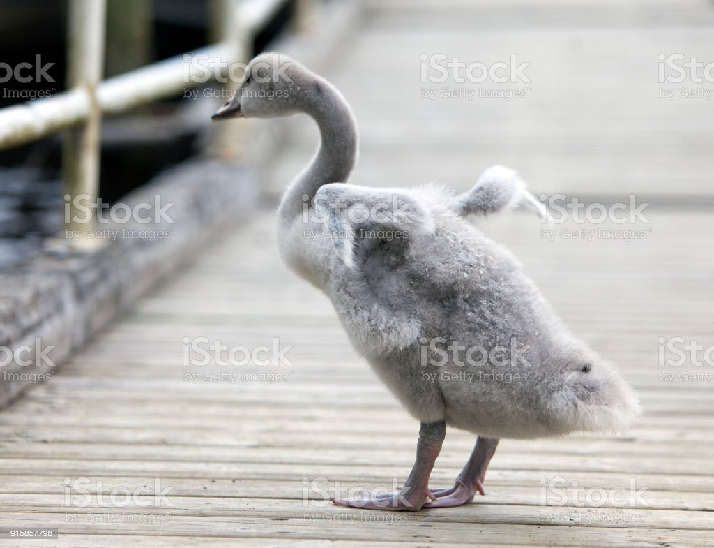 The baby bird of a swan on the mooring stock photo