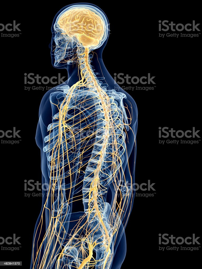 the back nerves stock photo