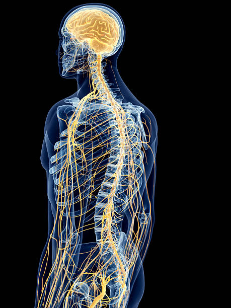 the back nerves medically accurate illustration of the back nerves intercostal space stock pictures, royalty-free photos & images