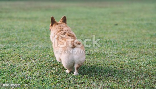 the back of corgi running in the park