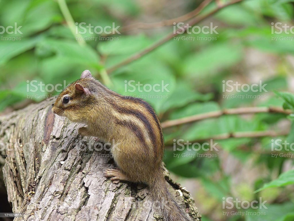The back view of a Chipmunk royalty-free stock photo