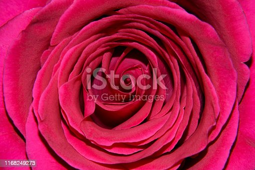 the background of the large Central part of a Bud of a red rose