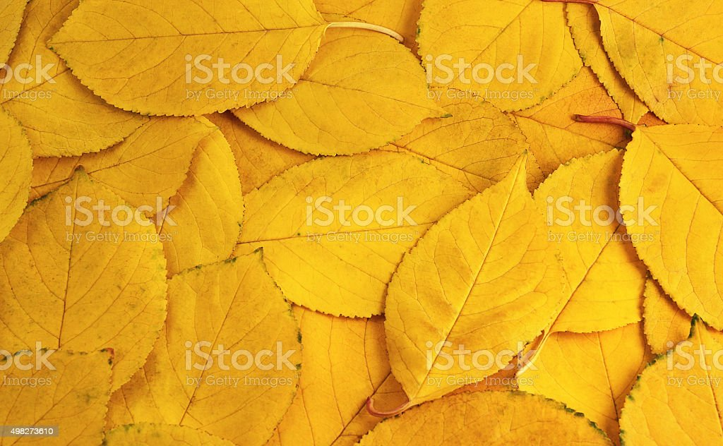 The background of yellow leaves stock photo
