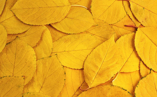 the background of yellow leaves - foliate pattern stock photos and pictures
