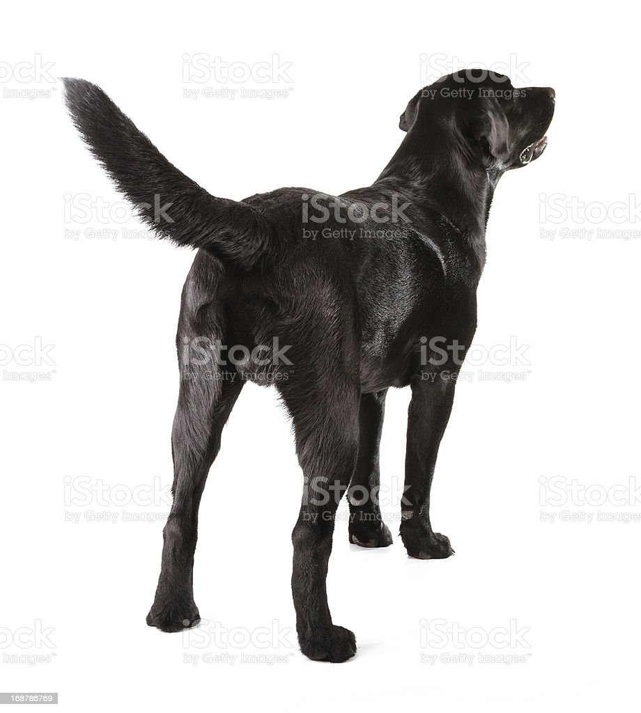 Labrador negro - foto de stock