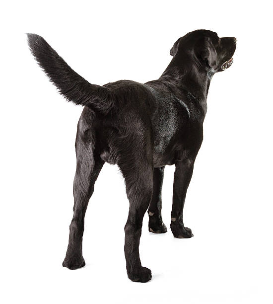 the backside of a black labrador retriever - tail stock photos and pictures