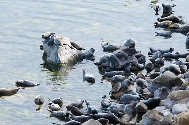 The Baikal seal nerpa – Foto