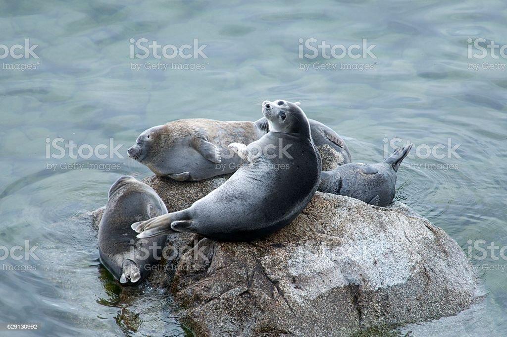 The Baikal seal nerpa stock photo