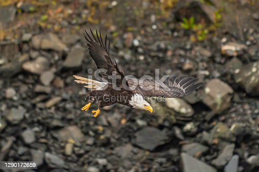 The Bald Eagle, Haliaeetus leucocephalus,  is a bird of prey found in North America that is most recognizable as the national bird and symbol of the United States of America. Ketchikan,  Alaska. Flying.