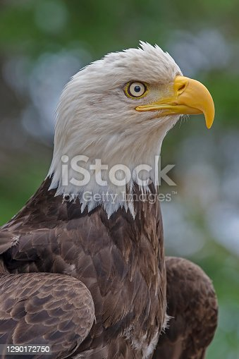 The Bald Eagle, Haliaeetus leucocephalus,  is a bird of prey found in North America that is most recognizable as the national bird and symbol of the United States of America. Ketchikan,  Alaska