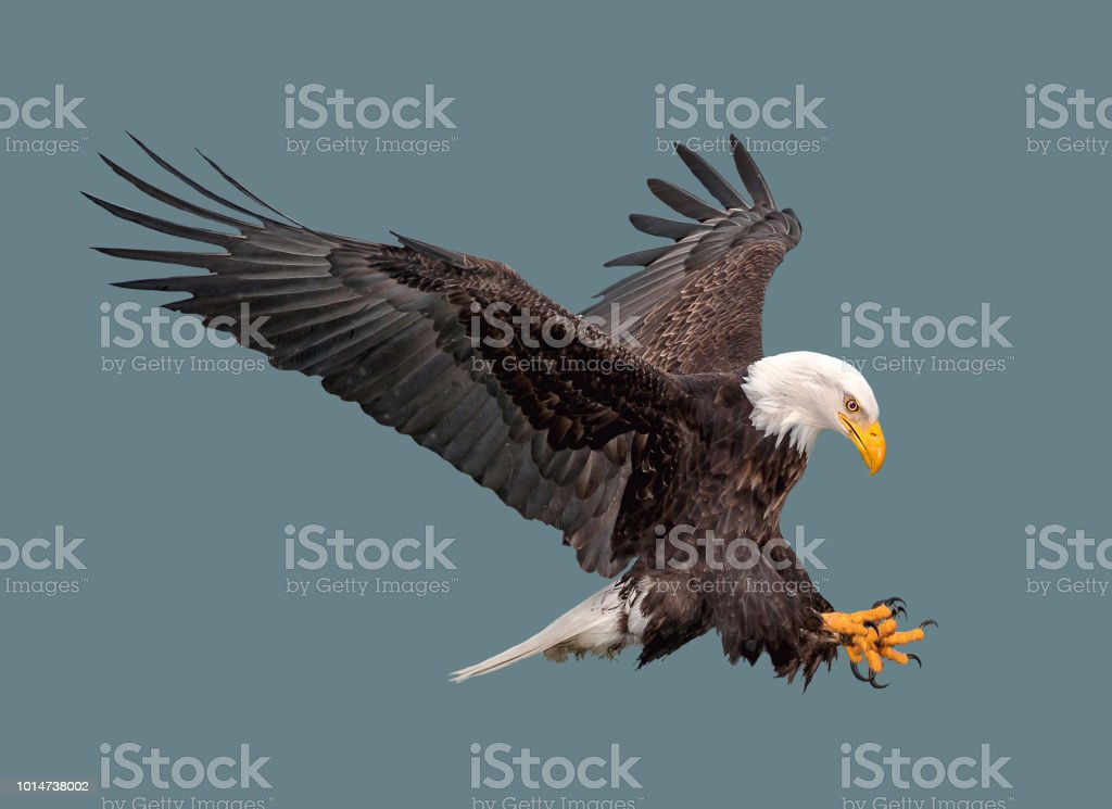 The bald eagle in flight. stock photo