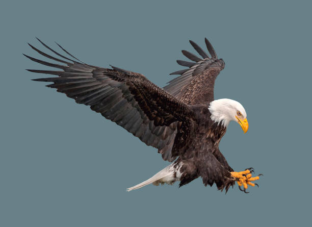 the bald eagle in flight. - eagle stock photos and pictures