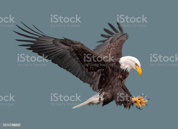 Photo of The bald eagle in flight.